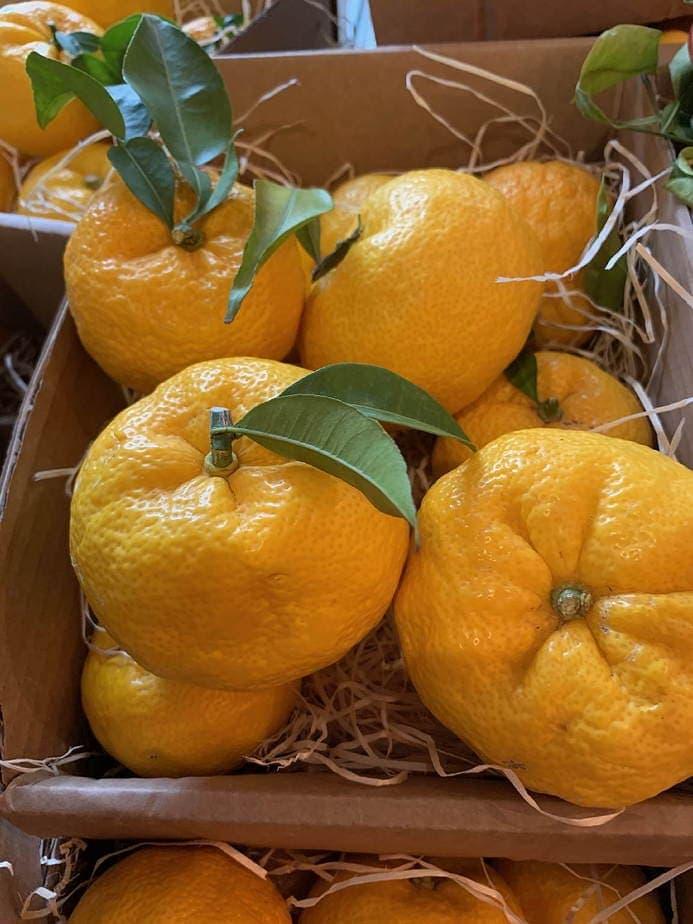 Yuzu japanische Zitrusfrucht